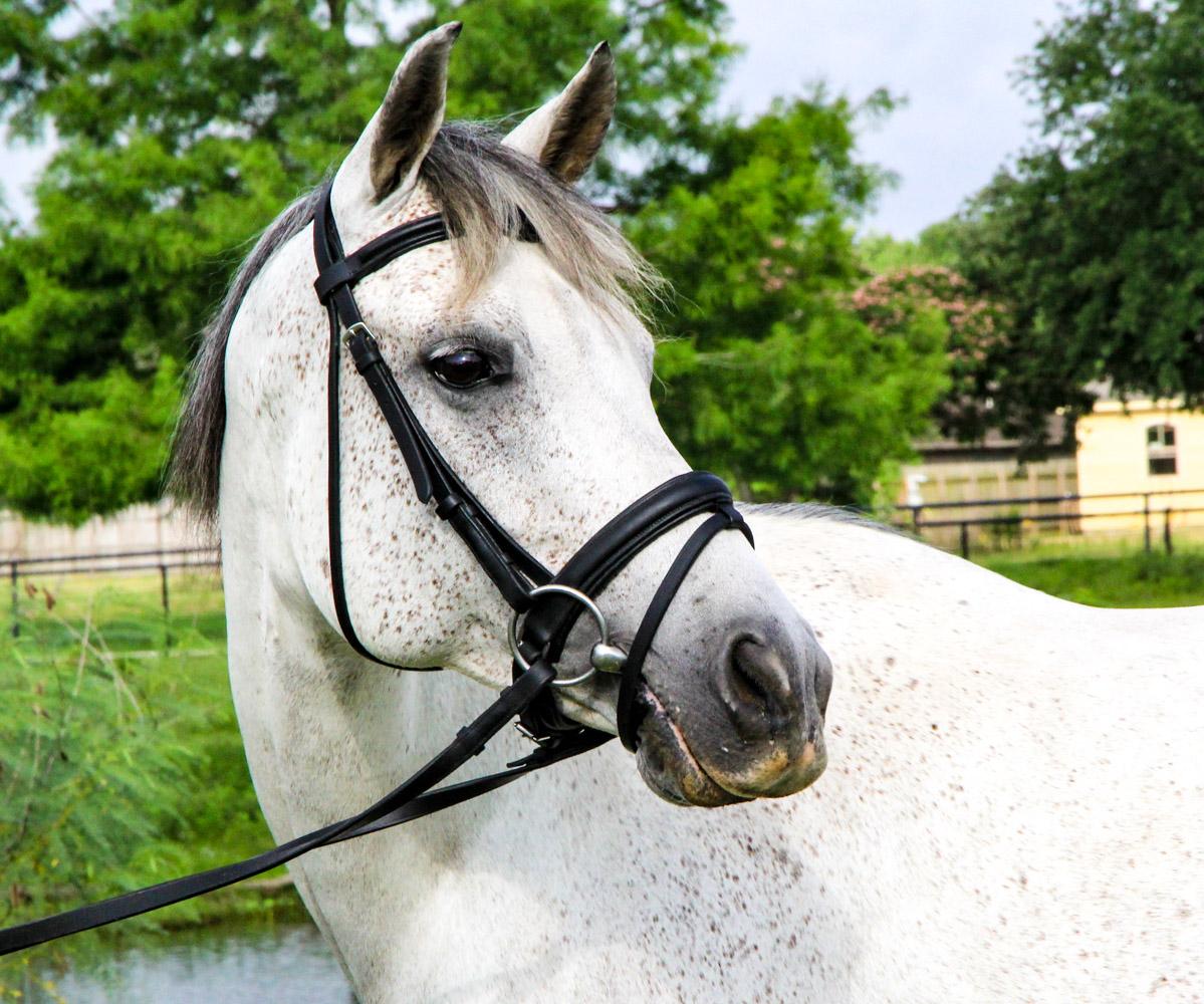Blackjack equine